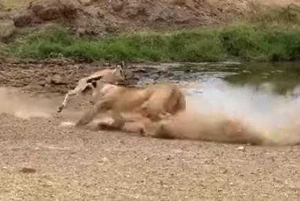 ライオンの急襲を紙一重でかわすトムソンガゼル