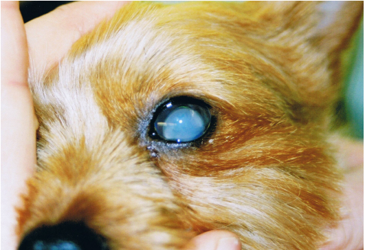 Symptoms Of Dislocated Eye Lens In Dogs