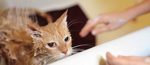μπανιο γατας