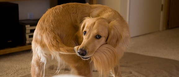 Animalcity.gr - Γιατί τα σκυλιά κυνηγάνε τις ουρές τους