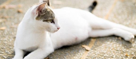 εγκυμοσυνη γατας
