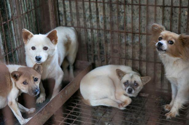 Animalcity.gr - Σώθηκαν πάνω από 100 σκύλοι που προορίζονταν για φαγητό! 3