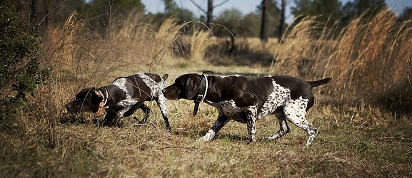 Animalcity.gr - Οι 10 καλύτεροι σκύλοι για κυνήγι