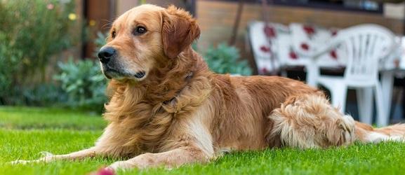 Τριχοπτωση σκυλου