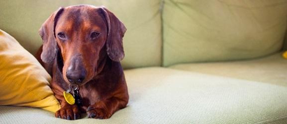 Βήχας σκύλου • Συμπτώματα, αίτια & αντιμετώπηση