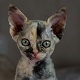 animalcity-gr-devon-rex-cat-icon