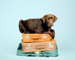 Pet travel photo showing a chocolate labrador on top of suitcases