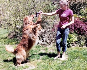 Dog vocabulary includes not just actual words but understanding intonation and meaning as well. A large golden shown playing with a toy as directed by his owner