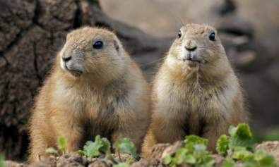 prairie dog language