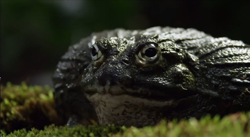 bullfrog saves tadpoles