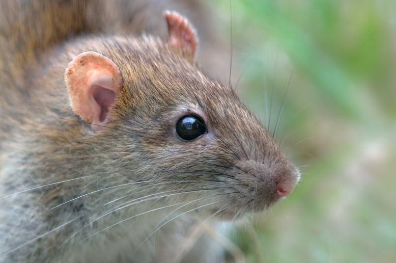 Brown Rat byanimals smarter than humans