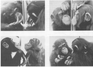 Chimp looking in mirror, list of animals that have passed the mirror test