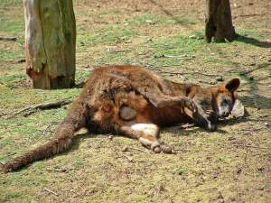 Wallaby high on opium