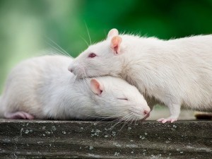 empathy in rats by Noah Brandt