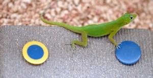 Anole Experiment by Duke University, reptile problem-solving