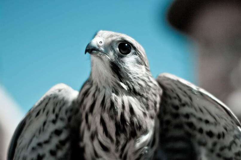 Small Falcon Predator