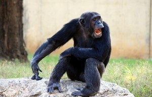 Chimpanzee with Open Mouth