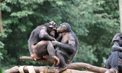 altruism in chimpanzees