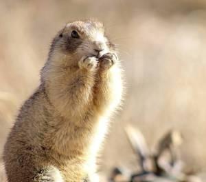 Prairie dogs smartest animals