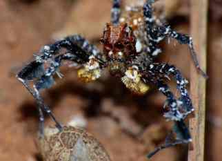 Dandy_Jumping_Spider_(Portia_schultzi)_(11908383663)