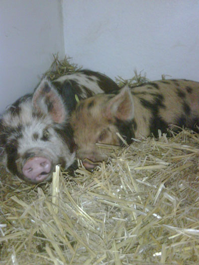 two gorgeous Kune Kune piglets