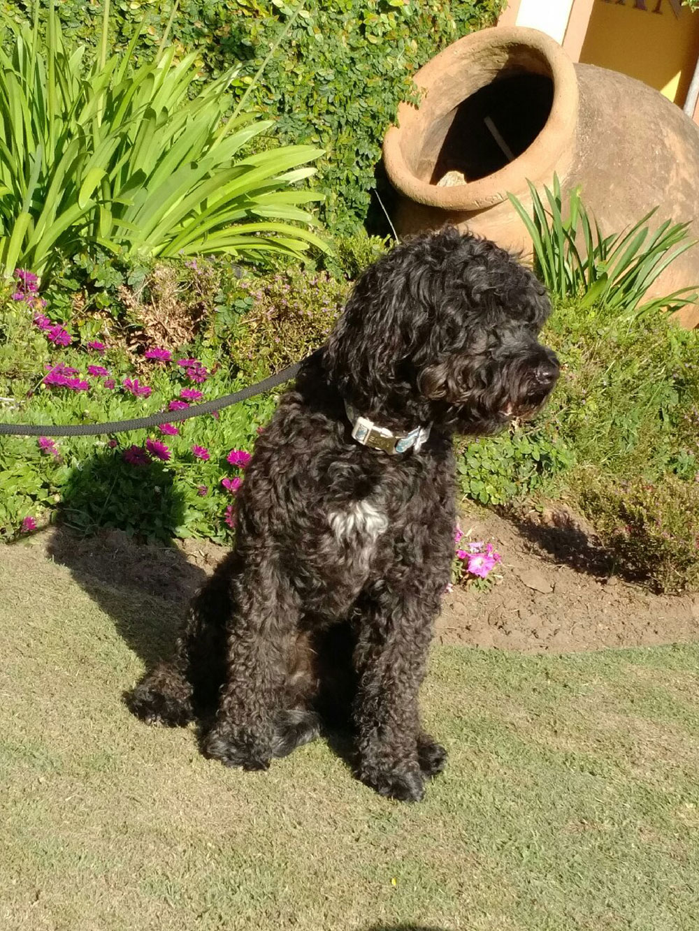 Jesse, a Portuguese Water Dog, belongs to Geoffrey. Jesse is travelling with us to rejoin Geoffrey in Yorkshire.
