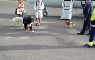 As they disembark, big fella Charlie and King Charles Spaniel Poppy were greeted by the airport's resident Golden Retriever