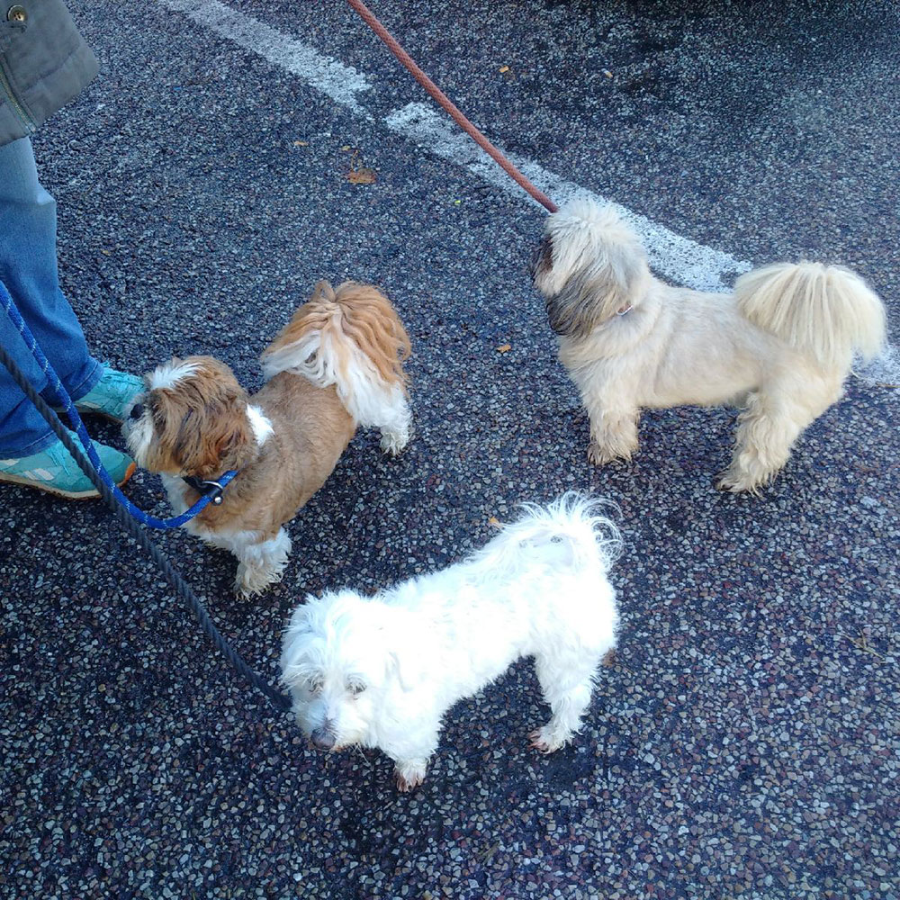 All the boys — Alfie, Raffi and Lucky — back from a walk