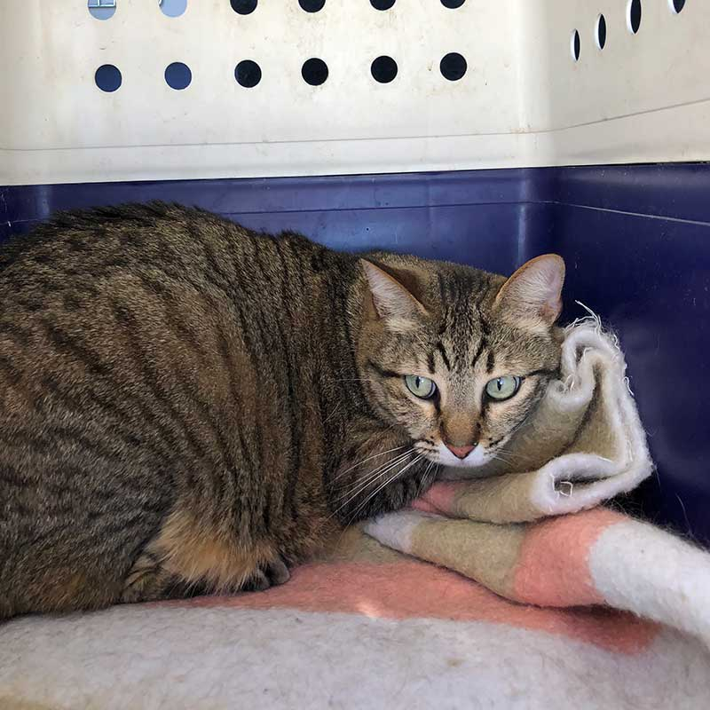 Striking tabby Clea is a bit more timid. She likes attention, but doesn't heckle for it like Caco does!