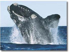 Ballena de Groenlandia
