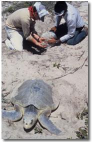 Atlantic Ridley o Tortuga Lora