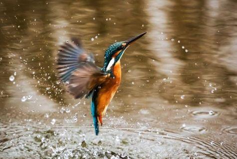 Resultado de imagen para ave El Martín Pescador sin copyright
