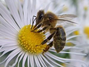 Abeja sacando polen