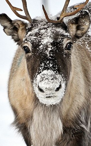 Reindeer Facts Animal Facts Encyclopedia