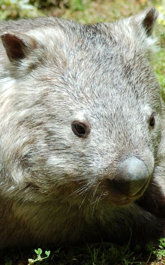 Wombat Facts Animal Facts Encyclopedia