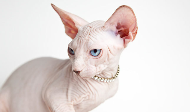 Sphynx Cat Cat Breed History And Some Interesting Facts