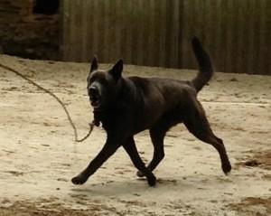 cane alla catena2