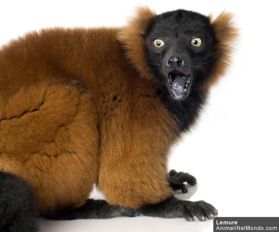 un lemure