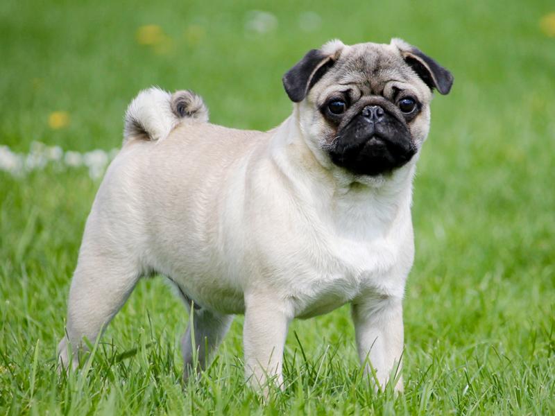 Pug Puppies Animal Kingdom Puppies N Love