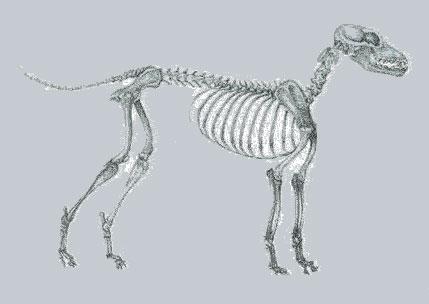 dog-skeleton