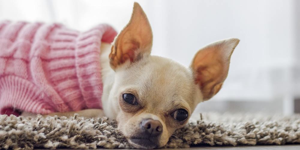 chihuahua con cappottino rosa