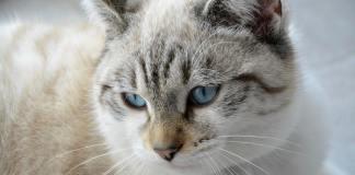 gatto siamese occhi azzurri