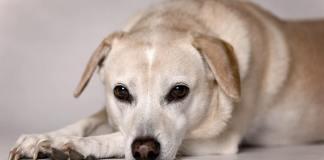 cane bianco crema