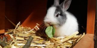 coniglio nano mangia insalata