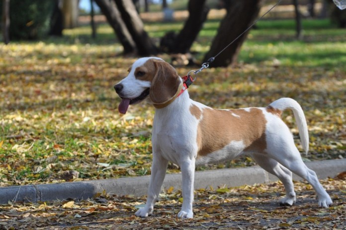 Beagle: aspetto.