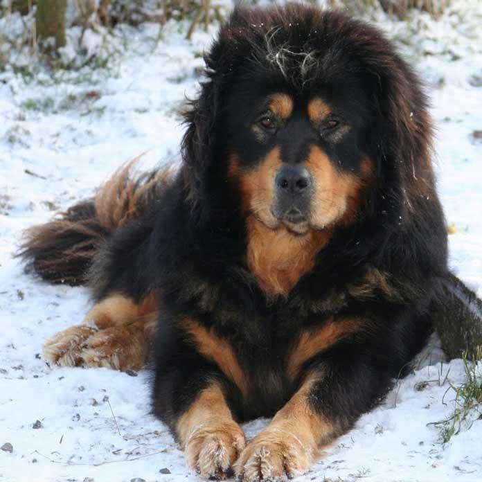 Allevare Tibetan Mastiff