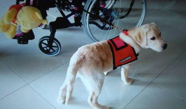 σκύλος βοηθός Σκύλος άτομα με αναπηρία