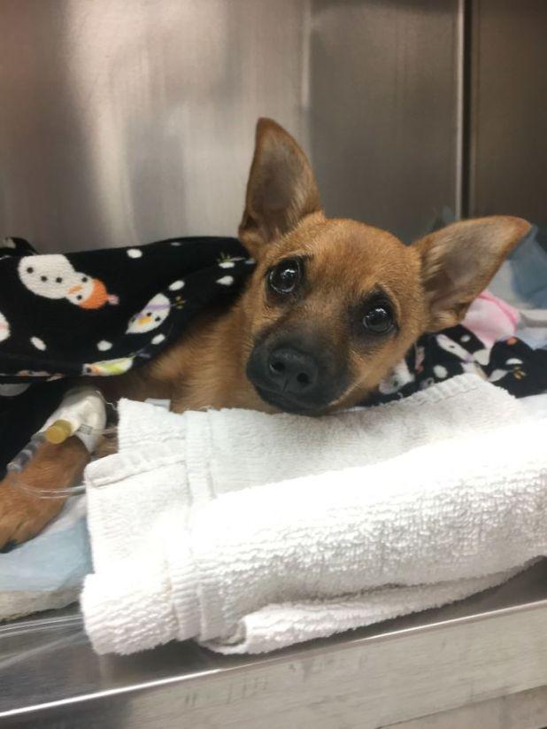 Σκύλος σκύλοι κουτάβια κουτάβι παρατημένο κουτάβι Ένας αστυνομικός βρήκε ένα κουτάβι παρατημένο σε ένα αμάξι και κάποιος του ειχε δώσει υπερβολική δόση ηρωίνης (!)