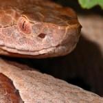 Copperhead Snake (istock)