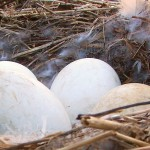 canada geese removal - egg addling